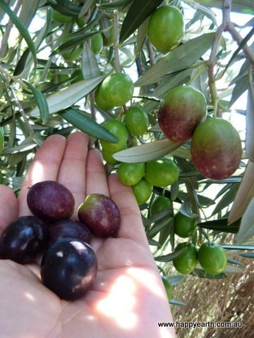 I really get it now how people can become so passionate about olives. The trees are so graceful, s...