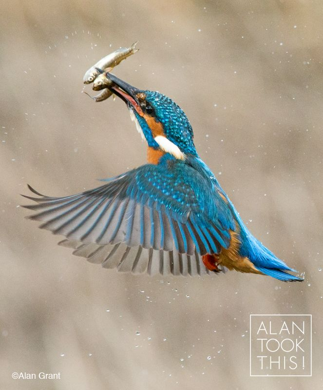 Two for the price of one! Kingfisher catches two fish in one dive. alantookthis.co.uk