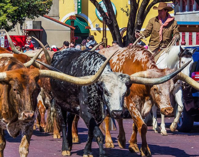 Daily cattle drive down the streets of Fort Worth, Texas