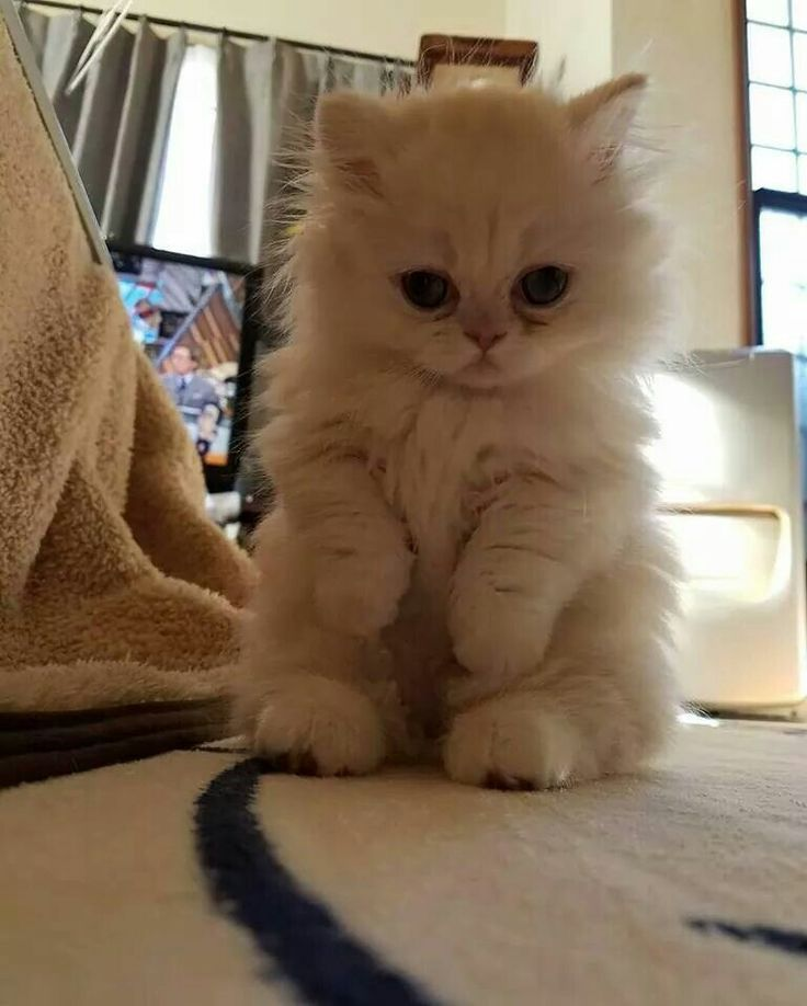 The Best Small Cat Breeds Ideas On Pinterest Cutest Pets - 25 of the fluffiest cats ever