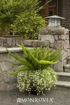 Foxtail Fern - Monrovia. Moderately upright growth, 2' tall and 2' - 3' wide. Needs partial sun. __ Keep surface of soil moist, but not soggy.  __ This unusual evergreen fern adds textural contrast to perennial beds and borders. __ Easy care plant.