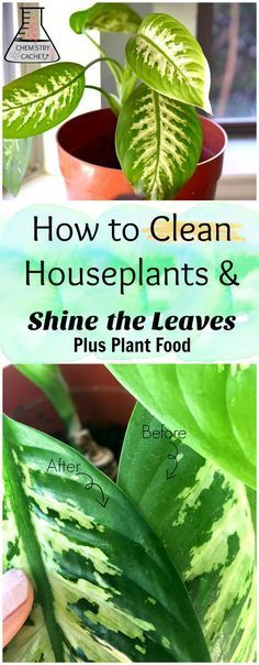 The best way to clean houseplants plus shine plant leaves. Tips on easy plant food too! Get the tuturial on how to clean houseplants on chemistrycachet.com