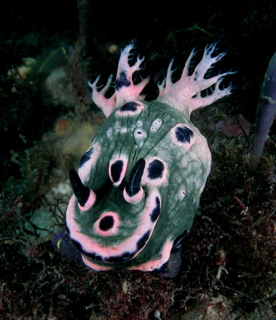 nudibranch (nembrotha sp)