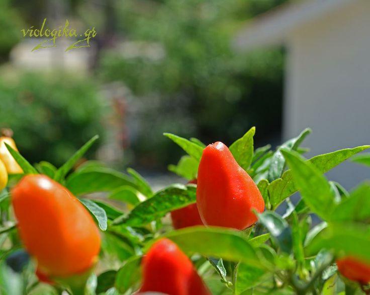 Μικρές καυτερές πιπεριές, πολυετή φυτά με πολύ καλή παραγωγή. Χρησιμοποιούνται στη μαγειρική και στην παρασκευή φαρμάκων λόγω της καψαϊκίνης:  http://www.viologika.gr/viologikes-piperies.php