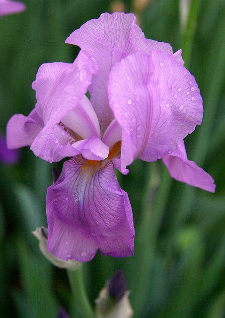 pin von mara moods auf genera iris pinterest blumen pflanzen pflanzen und blumen. Black Bedroom Furniture Sets. Home Design Ideas