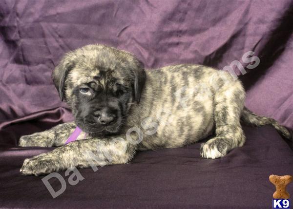 brindle english mastiff | HUGE Gorgeous AKC CHAMPION Brindle English Mastiff Puppy