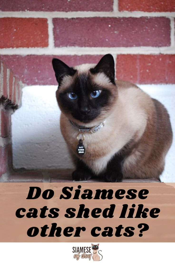 Do Siamese Cats Shed Siameseofday In 2020 Siamese Cats Cat Shedding Siamese Kittens