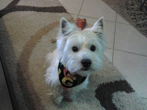 West Highland terrier.γουεντις