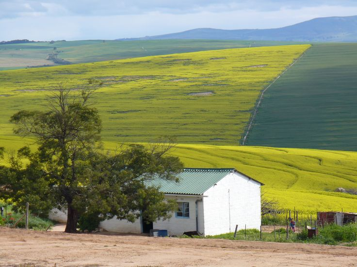 Canola fields, Malmesbury, Western Cape, South Africa