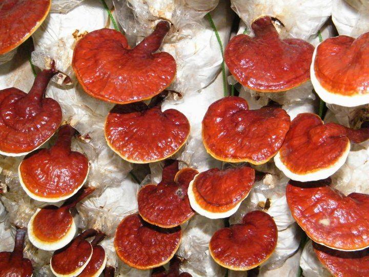 A Ganoderma kivonata van a kávéban.   www.ganodermaegeszseg01.dxn.hu