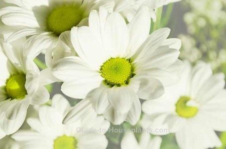 Florist Chrysanthemum varieties all have big, beautiful flowers crowning a mass of dark-green foliage. Find a plant profile, picture, and house plant care tips here.>>>> in front of 3 windows on table.