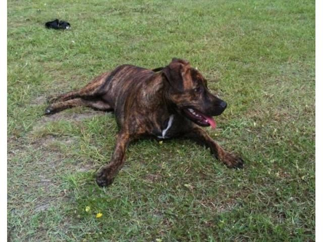 Well trained kind natured brindle staffy is listed For Sale on Austree - Free Classifieds Ads from all around Australia - http://www.austree.com.au/pets/dogs-puppies/well-trained-kind-natured-brindle-staffy_i2153
