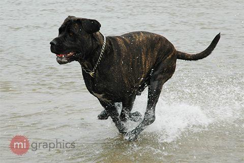 Neo Mastiff x - Bundy