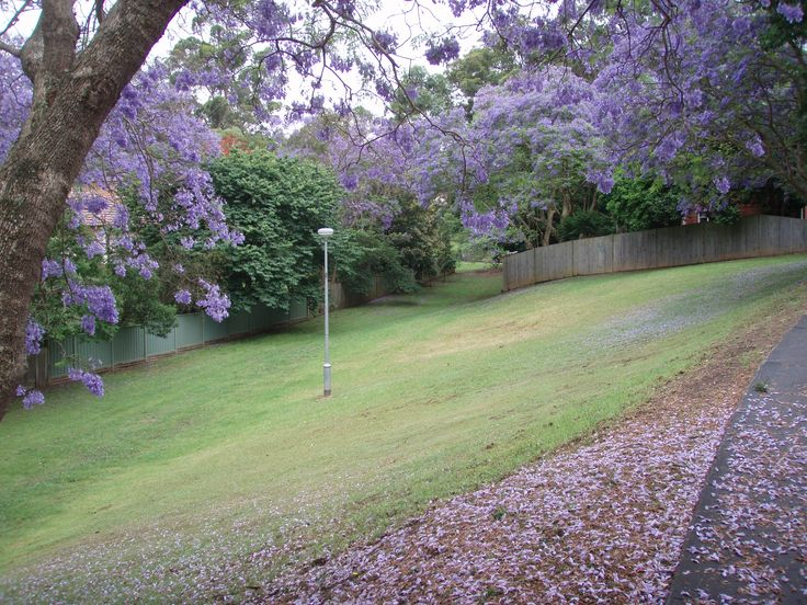 Pretty as a picture! West Denistone Park in Jacaranda season #Denistone #DenistoneWest #WestDenistone #WestDenistonePark #RydeLocal #CityofRyde