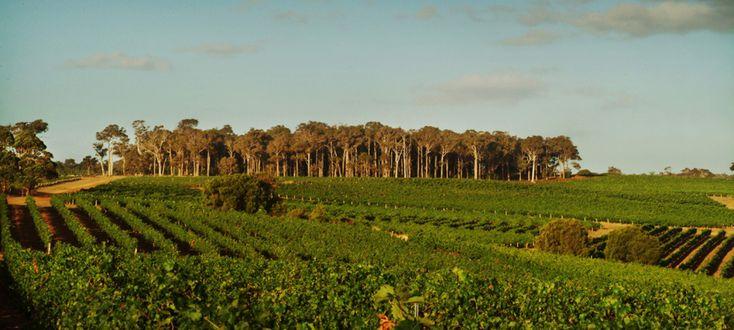 Leeuwin Estate - vineyard