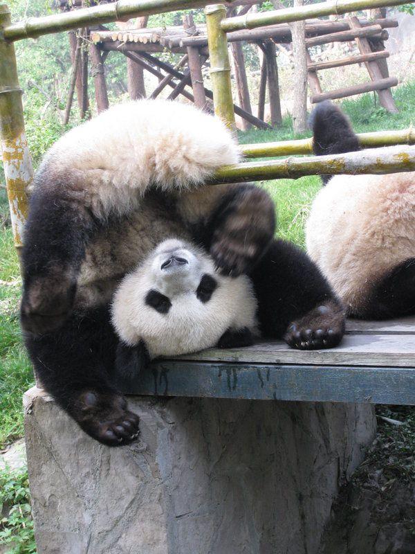 Panda gymnast2 by flixdragoness.deviantart.com