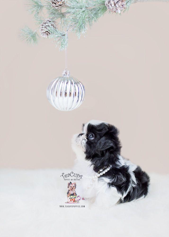 Shih Tzu Breeder South Florida Teacup Puppies Shih Tzu Breeders Teacup Puppies For Sale