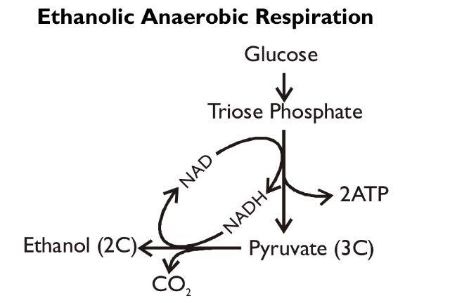 Ethanolic anaerobic respiration. | AQA A2 Biology (Unit 4 ...