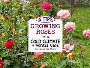 Help Your Roses Do Their Best Whether you already have roses growing in your cold climate garden or want to get started, there's several things you can do to provide the best growing (and winter sleeping)...