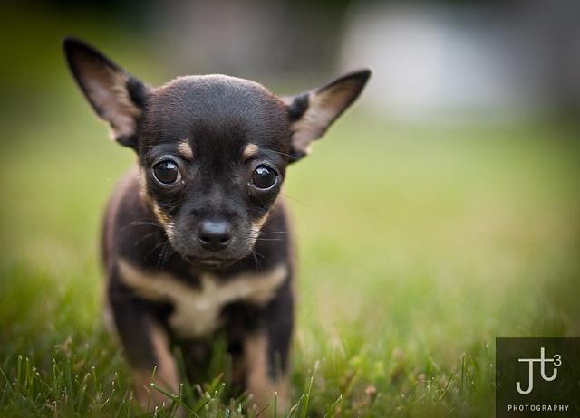 Chiuaua Puppy by Joe Turic, via Flickr