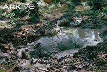 Sumatran rhinoceros wallowing in mud