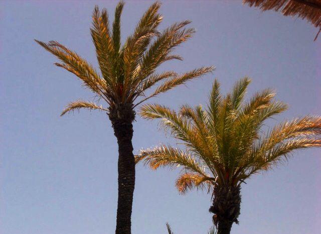 Palm Trees, La Quinta la Manga, Spain