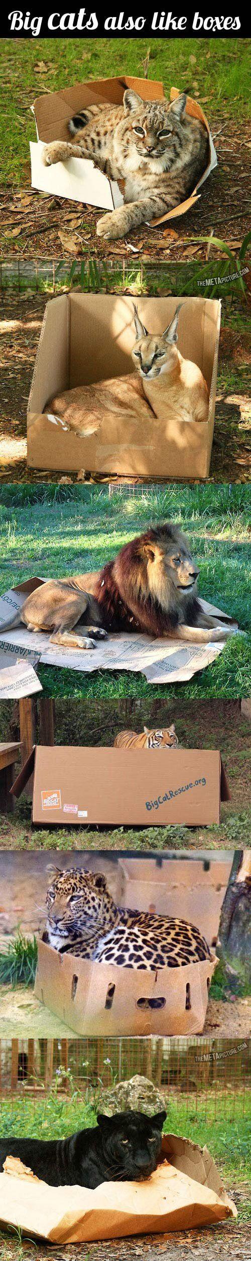 If I fits, I sits: the big cat version…