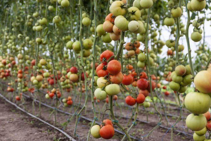 Dopo la coltivazione del #pomodoro in vaso e l'articolo sulle sue origini, ecco come coltivare il pomodoro in orto con il metodo #biodinamico