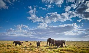 Elephants graze in the Amboseli National Park, Kenya