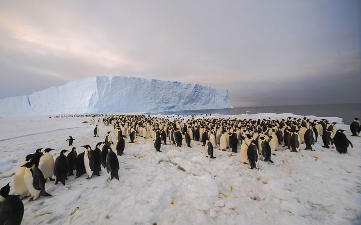 This is the first photo of a newly-discovered 9,000-strong emperor penguin colony on Antarctica's Princess Ragnhild Coast. The hidden colony of has received its first human visitors. Scientists from the British Antarctic Survey and US colleagues discovered the colony from satellite images.