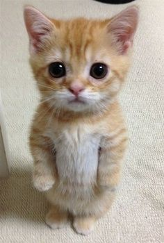 Cute little kitten standing- something about those eyes...body language says curiosity, but eyes say sad.