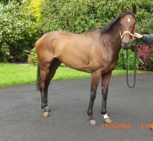 5yo Flat Winning Mare By Iffraaj From Dam of 4 Winners   ParadeRing Horse Sales