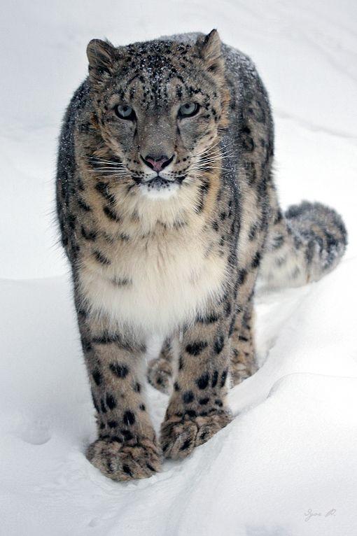 Snow Leopard: Photo by Photographer igor P.