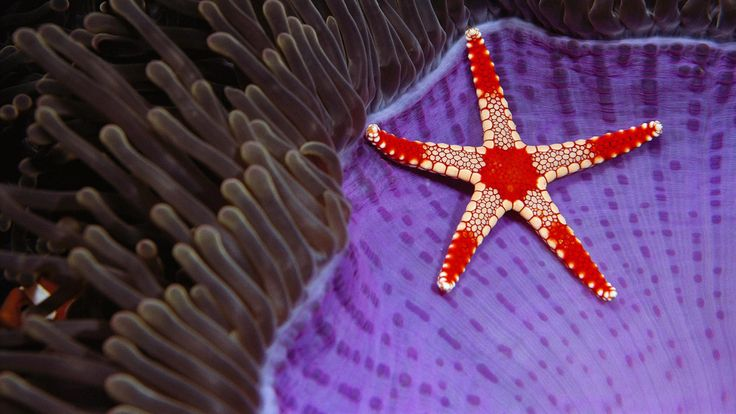 Necklace sea star on a magnificent sea anemone near Sipadan Island, Borneo (© Norbert Wu/Minden Pictures) – 2016-12-18 [http://www.bing.com/search?q=Necklace+starfish+Fromia+monilis&form=hpcapt&filters=HpDate:%2220161218_0800%22]