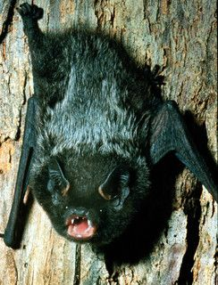 Silver-haired bat - Lasionycteris noctivagans Do not attempt to feed or pet. This link explains how to get rid of bats humanely: http://www.wikihow.com/Get-Rid-of-Bats and this one explains what to do if you find a bat in the house. http://www.wikihow.com/Catch-a-Bat-in-Your-House