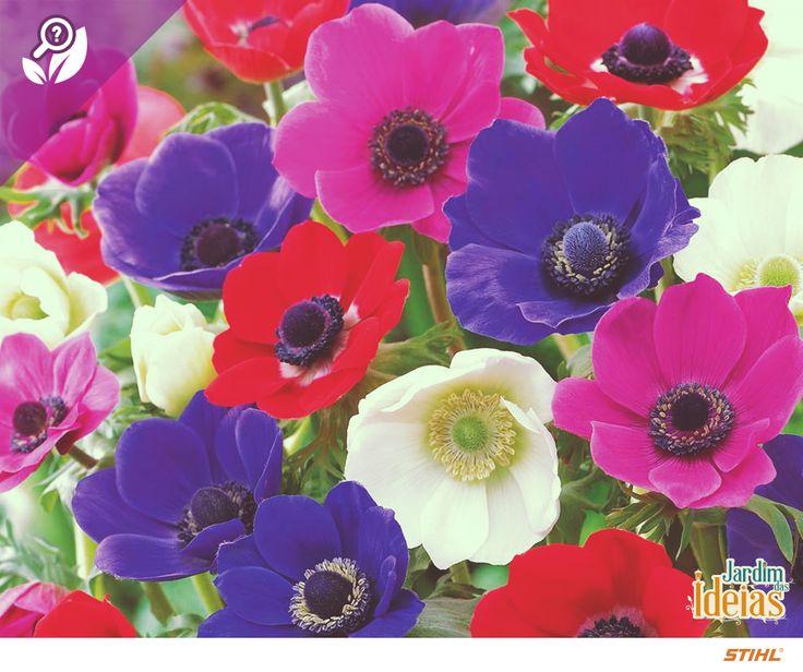 A anêmona (Anemone coronaria) é uma flor perene, que alcança de 20 a 40 cm de altura e é cultivada a meia sombra ou até mesmo sol pleno, sendo encontrada em solos argilosos e bem drenados. Segundo a mitologia grega, a origem das anêmonas se deu através do respingo de sangue da deusa Afrodite sob as flores brancas que brotaram do sangue de Adônis.