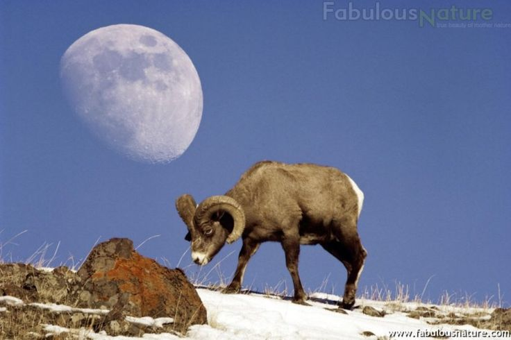 Luna y borrego cimarr n reino animal pinterest reino Liner 5 50 x 1 32