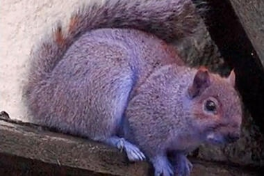 purple squirrel found in Pennsylvania ..  unknown why it is purple, could be suspected it is due to fracking..