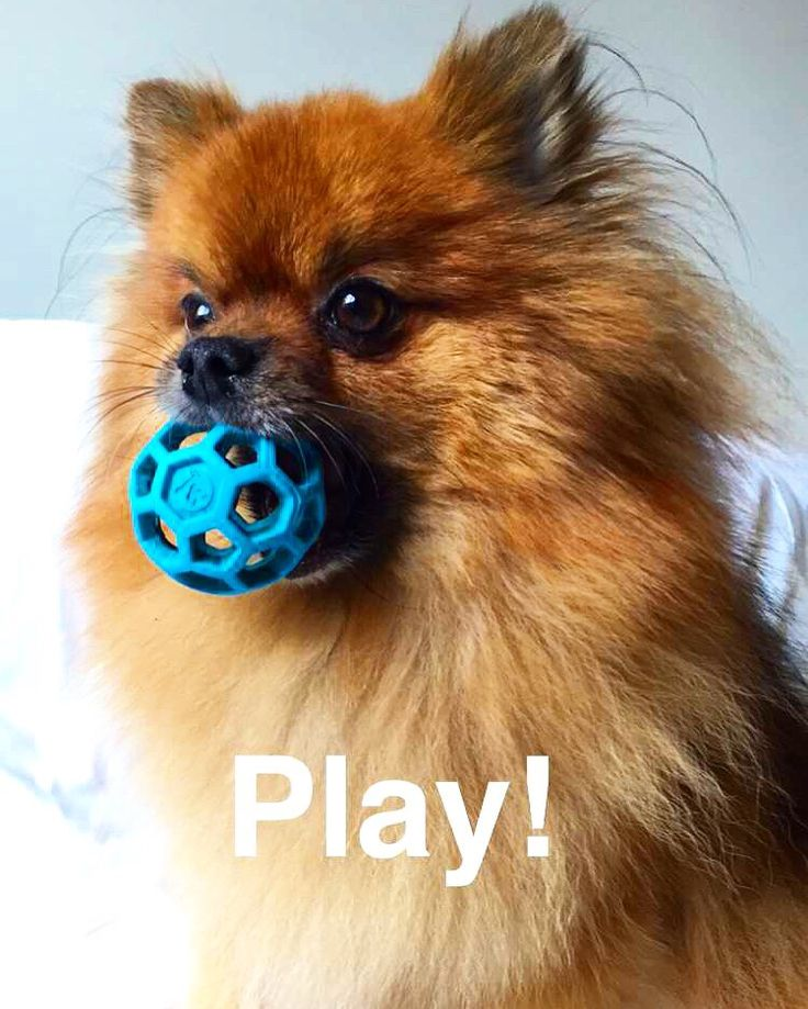 'Anyone wanna play Ball? ' - Cute Pomeranian Dog