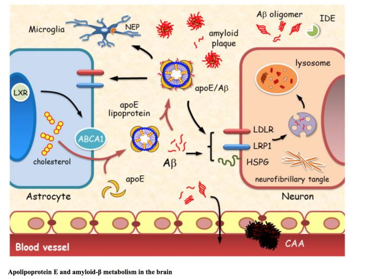 Apolipoprotein E and amyloid-β metabolism in the brain