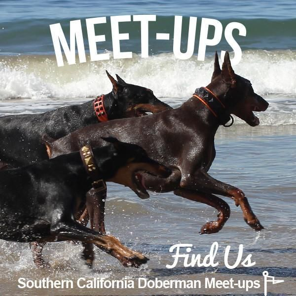 Doberman Meet Ups Dobermanpinscher Doberman Doberman Pinscher