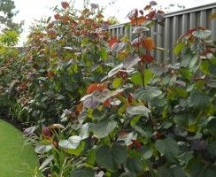 Tiliaceous rubra cottonwood hibiscus. Large red, green leaves, yellow flower, fast growing and hardy.