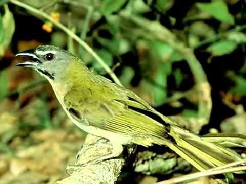 Aves do Brasil   O canto harmonioso do Trinca Ferro ou Picharro