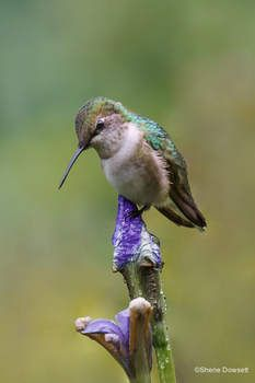 Hummingbird perched on an iris.