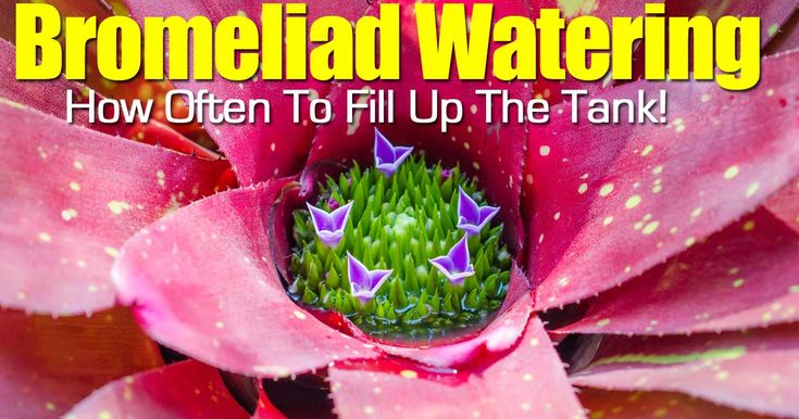 134 best images about bromeliads bromeliaceae on - How often to water vegetable garden ...