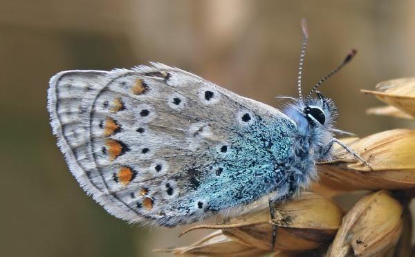 Grey And Blue Hairy Butterfly Sitting On Dry Flowers: Wallpapers Art, Skin Art, Wonder Nature, Digital Art, Art Prints, Slinki 2012 Deviantart Com, Traditional Art, Brows Deviantart, Butterflies Jungles