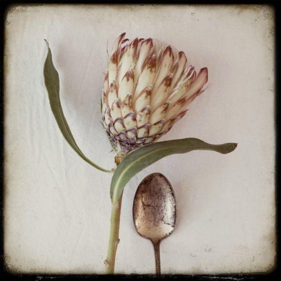 protea with spoon x