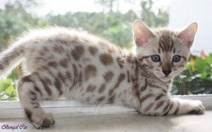 snow bengal cat blue eyes white bengal cat full grown brown marble ...