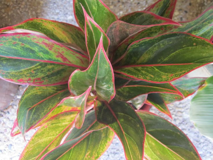 The leaves of the chinese evergreen are broad and full with a deep green color some of the - Green leafy indoor plants ...