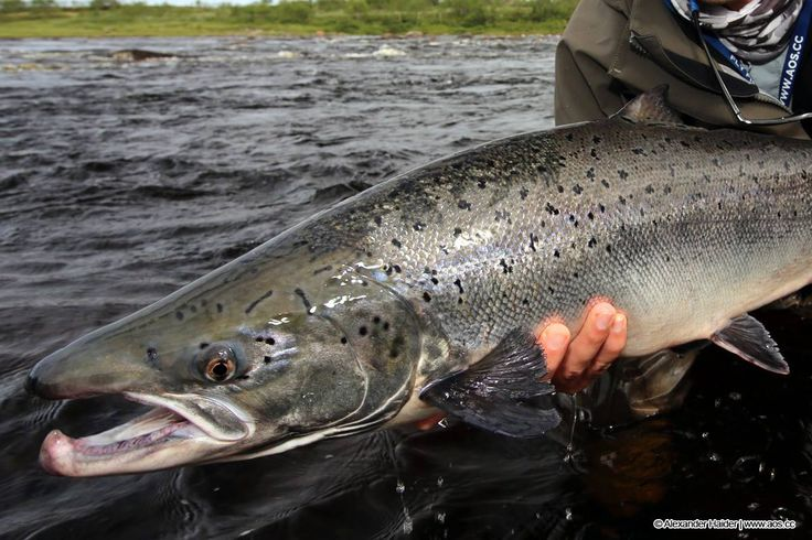 17 best images about kola peninsula russia on pinterest for Tight lines fly fishing